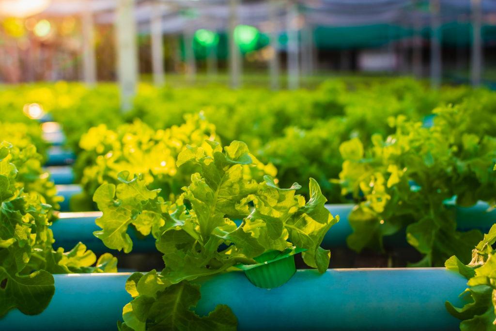 La lumière UV appliquée sur des légumes